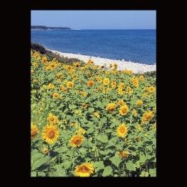 名刺_鳴り石の浜のヒマワリ